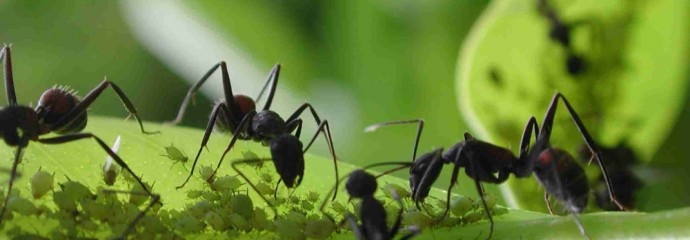 Dicas para espantar formigas